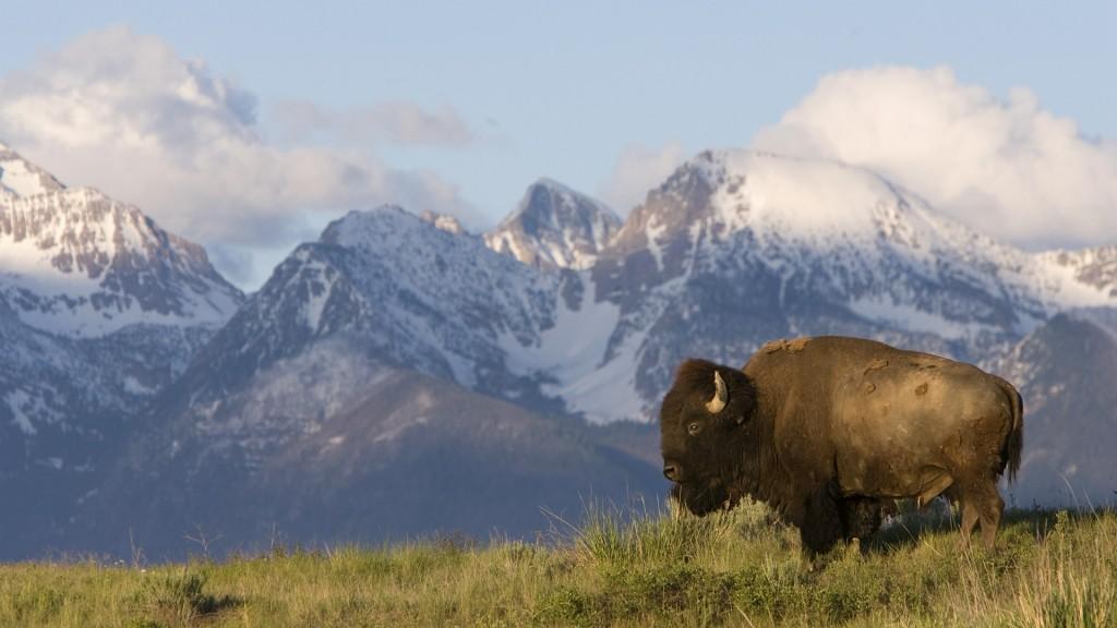 6838643-bison