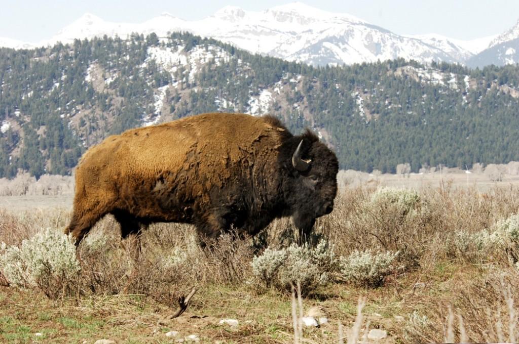 Julie-Larsen-Maher-5816-American-Bison-in-wild-YELL-05-05-06