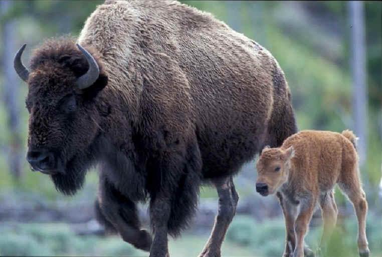 bison-002